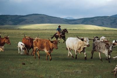 Longhorn cattle are herded in the western United States.