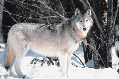 Gray wolf populations are recovering in some regions, and the U.S. Interior Department has delisted the gray wolf in the northern Rockies.