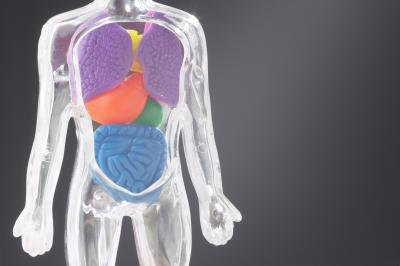 3D illustration of human internal organs.
