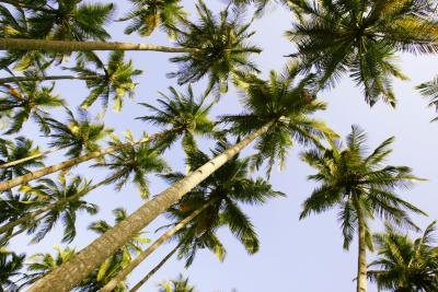 A low-angle view looking up at palm trees.