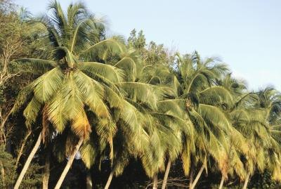 A row of Raffia palms growing in the tropics.