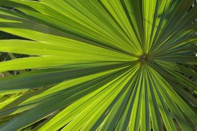 A close-up of a Sabal Palmetto palm.