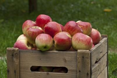 A wooden crate filled with fresh-picked pink lady apples.