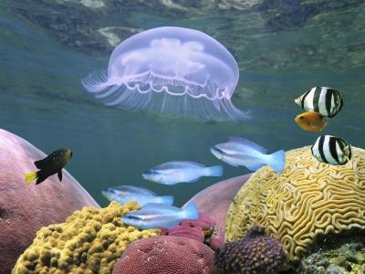 Jellyfish are more of a menace than sharks in reefs.