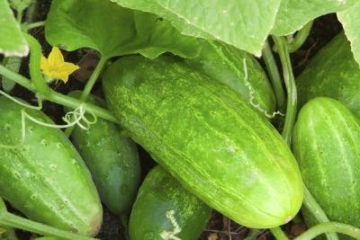 Green cucumbers in a garden