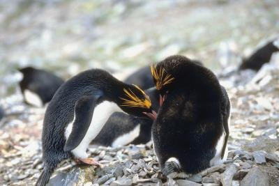 Macaroni penguins are excellent hunters.