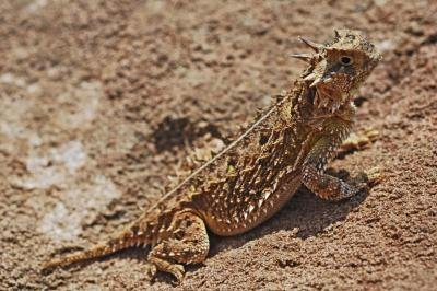 the Texas horned lizard can be found in Oklahoma