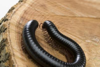 millipedes and their defense mechanisms The eggs hatch inside the millipedes and get food or the nourishment for their growth and after some time fly away in search of food and shelter 5 defense mechanisms.