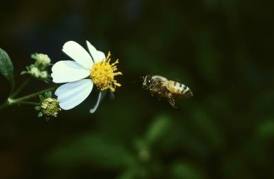 The honeybee is the state insect of Louisiana.
