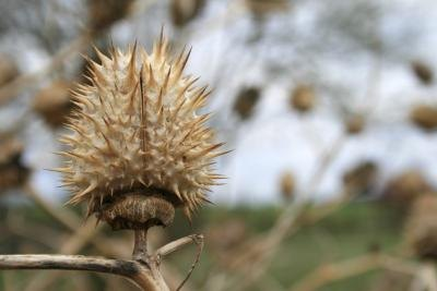 A close up of a thorn apple in autumn.