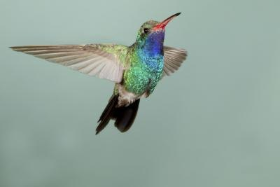 Hummingbirds beat their wings very fast.