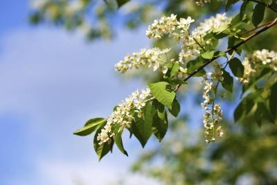 Hackberry tree branch during spring bloom