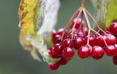 Close-up of cranberry bush