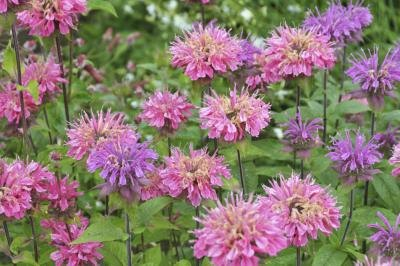 pink and purple bergamot flowers