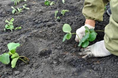 A farmer planting strawberry plants in a patch
