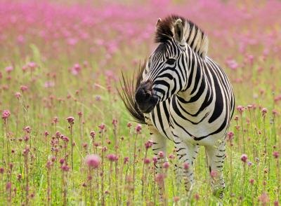 A wild zebra may live for 25 years.