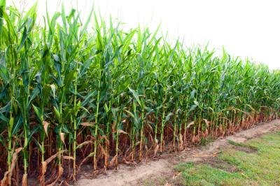 Corn is used for many different purposes.