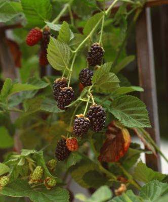 how to grow wild blackberry bushes
