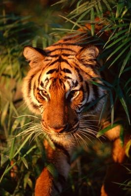The tiger is an apex predator, meaning nothing consumes it as prey.