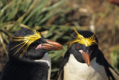The orange tassels that adorn the Macaroni penguins distinguish them from a Royal penguin.