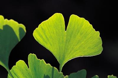 The two-lobed leaf of a maidenhair tree.