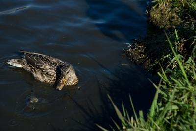 Ducks have a neutral relationship with many other birds they share their environment with.