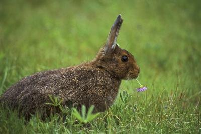 A rabbit chews on clover.