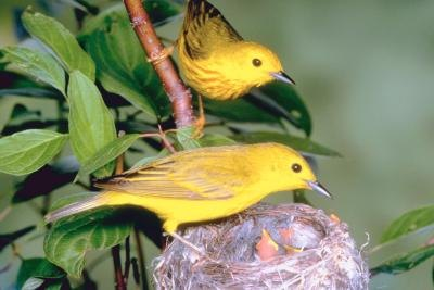 Warbler varieties, such as the yellow warbler, are frequently named for the prominent colors they display.