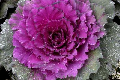 Ornamental cabbage should be placed in full sunlight.