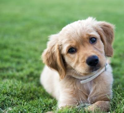 søde hunderacer