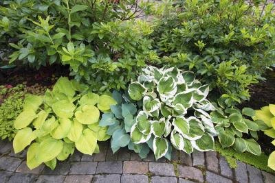 Hostas vary in foliage and size.