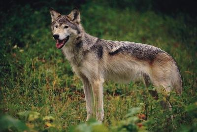 The coyote is a predator found in grassland biomes.