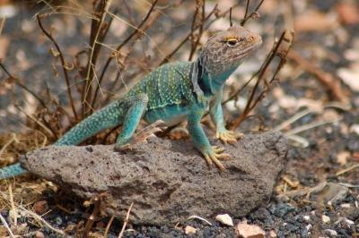 Oklahoma is home to nearly 20 lizard species including the eastern collared lizard.