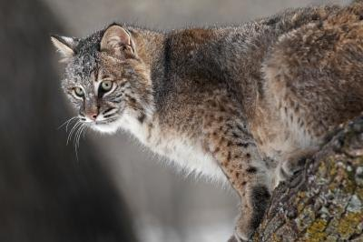 A bobcat hunts from a tree branch.