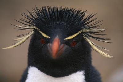 "The name ""Macaroni penguin"" originated as a reference to the hats worn in the 18th century by young men."