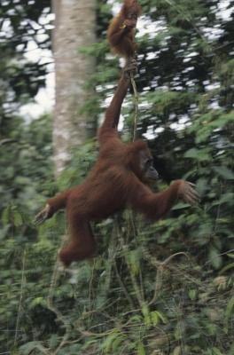 Lianas even provide a method of transporation for species like the orangutan.