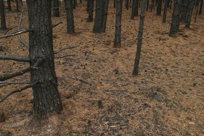 Orange pine needles cover the soil in a forest.