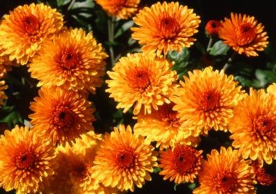Fall & Winter Flowers in North Texas with