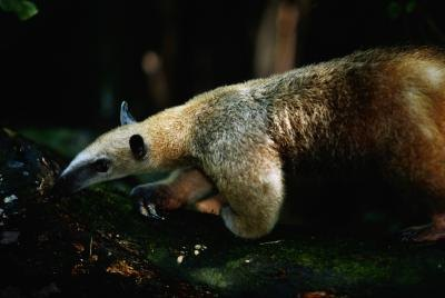Anteaters have adapted to spend their entire lives among the canopy's buffet.