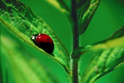 Ladybugs are beneficial insects.