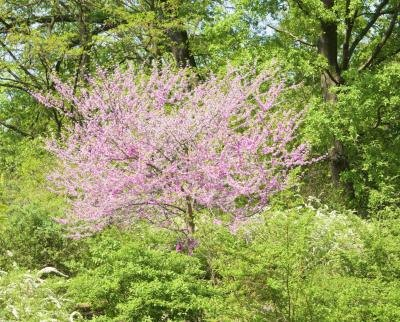 A flowering Judas tree grows in the woods.