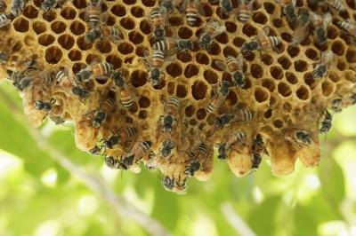 Bees working on hive