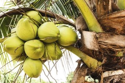 the parts amp the uses of coconut trees with pictures ehow