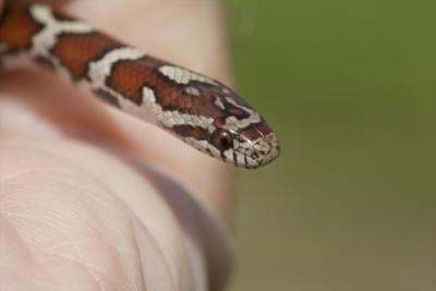 The eastern milksnake.