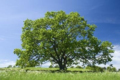 The oak tree's life cycle includes several stages.