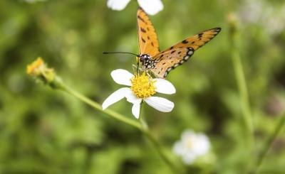 include wildflowers in landscaping for migrating butterflies