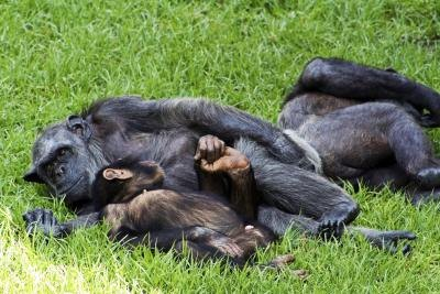 family of chimpanzees resting on the grass