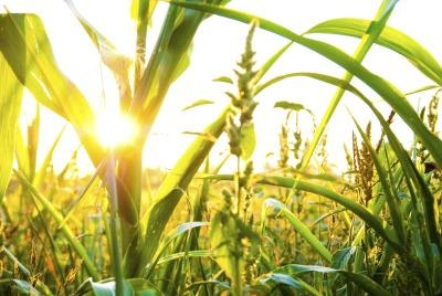 Corn plants use sunlight for photosynthesis.