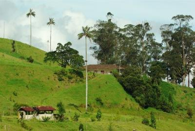 Andean Wax Palms growing on a hillside near a home in Columbia.