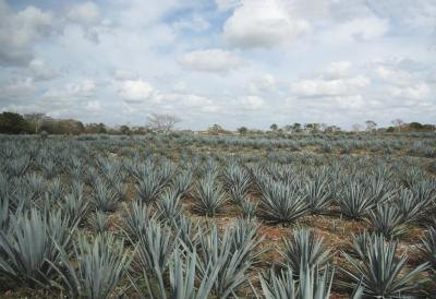 Field of tequila agave.